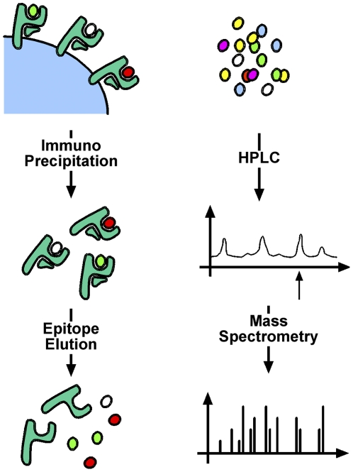 Identification of naturally processed HLA-A2 ligands. Following large-scale expansion, cell pellets were lysed and MHC class I molecules with bound ligands were purified by immunoprecipitation. Subsequently, ligands were eluted and separated by high performance liquid chromatography (HPLC). Fractions of interest were sequenced by mass spectrometry.