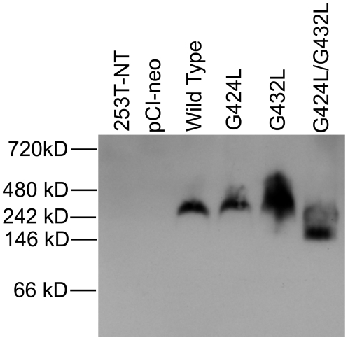 Mobility of G to L Mutants of CEACAM1-4S Resolved by BN-PAGE. Protein lysates were prepared and resolved by BN-PAGE as described under materials and methods . Proteins were transferred onto PVDF membranes and probed with monoclonal antibody 9.2. When separated on native gels, wild type CEACAM1-4S and the single G mutants migrated with an apparent molecular mass that was approximately 100 kDa higher than the double glycine mutant.