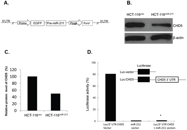 miR-211 inhibits CHD5 expression in colorectal cancer cells stably expressing exogenous miR-211. (A) Schematic representation of the miR-211 vector, which contains an expression cassette of the P CMV promoter, EGFP, and miR-211 precursor and a selective cassette of the P PGK promoter and Puro r . (B) CHD5 protein levels in cell lines HCT-116 vec and HCT-116 miR-211 were evaluated by Western blot and (C) semi-quantified based on CHD5/β-actin relative intensities. (D) Luciferase reporter assay using HEK 293T cells that were transfected with either the luciferase/3′-UTR miR-211 reporter vector, the miR-211 vector, or both. Schematic representation of the luciferase-CHD5 reporter vector and luciferase reporter control vector were also inserted. * indicated as P