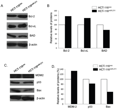 Effects of exogenous miR-211 on cell growth-associated proteins and p53-related pathway proteins in colorectal cancer cell lines. (A) The levels of cell growth-associated proteins in HCT-116 vec and HCT-116 miR-211 cell lines were analyzed by Western blot and (B) semi-quantified based on targeted protein/β-actin relative intensities. The levels of p53-related pathway proteins in HCT-116 vec and HCT-116 miR-211 cell lines were analyzed by Western blot (C) and semi-quantified based on targeted protein/β-actin relative intensities (D).