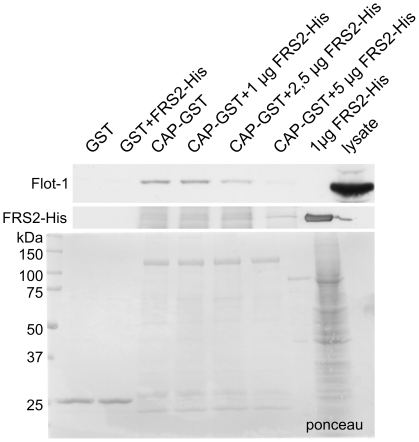 Flot-1 and CAP compete for the binding to FRS2. CAP-GST was immobilized to sepharose and incubated with HeLa cell lysates in the presence of increasing amounts (1–5 µg) of purified FRS2-His. The binding of endogenous flot-1 from the lysates was analyzed by Western blot (upper blot). Middle panel shows the blot for FRS2-His and the lowermost one a ponceau staining of the GST proteins.