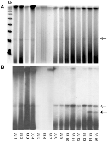 PFGE and Southern blot hybridization with IS 1245 -derived probe of M. avium and M. kansasii colonies. (A) PFGE with undigested DNA; (B) Southern blot hybridization with IS 1245 -derived probe. Open arrow indicates pMA100; closed arrow indicates the uncharacterized smaller hybridization band. 88.1 to 88.4 = M . avium ; 88.5 to 88.75 = PCR−IS 1245- negative M . kansasii ; 88.8 to 88.15 = PCR−IS 1245- positive M. kansasii. On the left, Lambda Ladder PFG Marker (NewEngland BioLabs) molecular size markers.