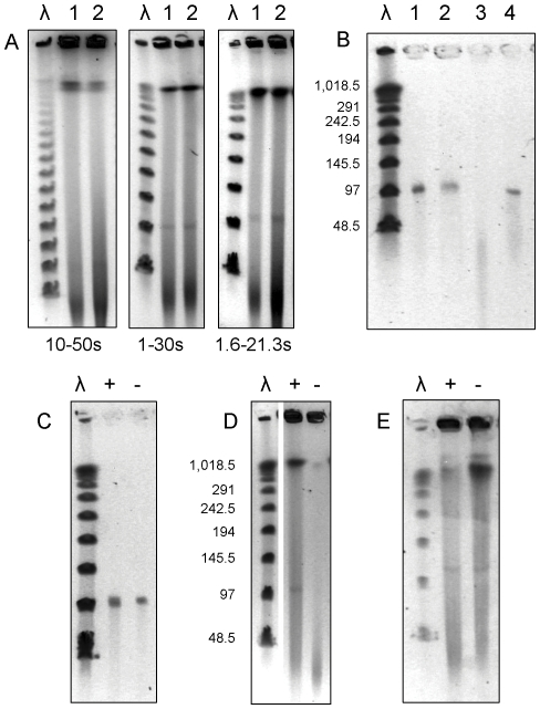 PFGE of DNA genomic preparations. (A) PFGE with undigested DNAs from M. avium 88.3 (1) and M. kansasii 88.8 (2) under different switch times, indicated below each figure; (B) pMA100 extracted from PFGE gels and treated with exonuclease III (3) or exonuclease lambda (4); (C) pMA100 extracted from PFGE gels and treated (+) or not (-) with topoisomerase I; (D) DNA prepared with (+) or without (-) adding proteinase K to the lysis buffer; (E) same as in (D) in PFGE gels and running buffer prepared with 0.2% SDS. λ: DNA concatemers of the bacteriophage λ genome.