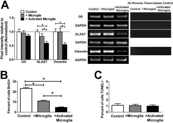 Influence of microglia on Müller cell gliosis, proliferation, and apoptosis . ( A ) The influence of microglia on Müller cell gliosis was assessed by evaluating mRNA expression of genes typically altered in gliosis by semi-quantitative RT-PCR: glutamine synthethase (GS), glutamate aspartate transporter (GLAST), and the intermediate filament, vimentin. Representative gel images for the PCR amplification of each mRNA species, with parallel controls from which reverse transcriptase is omitted from the amplification reaction (to confirm the absence of genomic DNA amplification), are shown ( right ). While the expression levels of GS in Müller cells were not statistically distinct between the different co-culture conditions, levels GLAST and vimentin, typically elevated in Müller cell gliosis, were significantly decreased following co-culture with activated microglia. These results demonstrate that changes induced by microglia co-culture differed from those associated with typical Müller cells gliosis. ( B ) Proliferating Müller cells in culture were marked by the incorporation of BrdU and the number of proliferating cells counted and expressed as a percentage of cells present. Co-culture with unactivated microglia induced a significant decrease in Müller cell proliferation, which was further decreased with co-culture with activated microglia. ( C ) Müller cells undergoing apoptosis in culture were marked with TUNEL-labeling. The percentage of apoptotic Müller cells was low and similar between all three co-culture conditions. (* indicates p