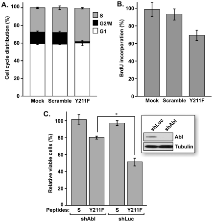 Growth inhibition of BT474 cells by targeting Y211 phosphorylation of PCNA. A. Cells mock-treated with vehicle alone or treated with the scramble or Y211F peptides (15 µM) were subjected to flow cytometry analysis. The percentages of cells in the G1, S, and G2/M phases were plotted. B. DNA synthesis activity in the treated cells was determined by a colorimetric BrdU-incorporation analysis. For each data point, the amount of incorporated BrdU was normalized to the percentage of viable cells, as determined by a side-by-side MTT assay. C. Depletion of c-Abl decreases sensitivity to Y211F peptide-mediated growth inhibition. A derivative of BT474 cells harboring an shRNA against c-Abl (BT474/shAbl ) or luciferase (BT474/shLuc) were treated with 10 µM Y211F peptide or the scramble peptide for 48 h. Surviving cells were then assessed by MTT assay and the results were plotted. *, P