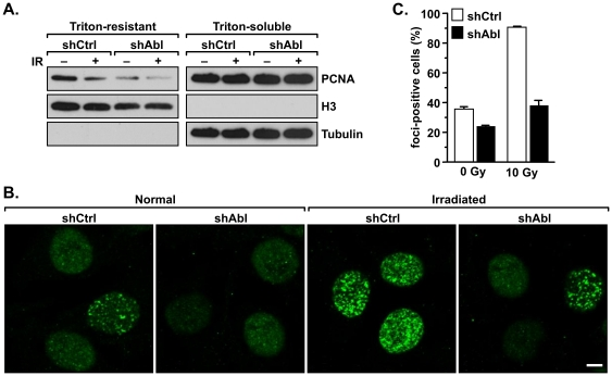 c-Abl enhances chromatin association and PCNA foci formation in response to DNA damage. A. MDA-MB-231/shAbl and MDA-MB-231/shCtrl cells were exposed to 10 Gy of IR. Following one hour of incubation, the cells were extracted with 0.5% of Triton X-100. Levels of PCNA in the soluble and insoluble fractions were examined by western analysis. Expression of α-tubulin and histone H3 was assessed as markers of the soluble and insoluble fractions, respectively. B. c-Abl is important in the formation of PCNA nuclear foci. MDA-MB-231/shAbl and MDA-MB-231/shCtrl cells were mock-treated or irradiated with 10 Gy of IR followed by incubation for one hour. Cells were then fixed with methanol and stained with an anti-PCNA antibody. C. To evaluate the number of foci-positive cells, five independent fields representing each treatment were counted. The experiment was repeated two times, and the results of the two trials were consistent.