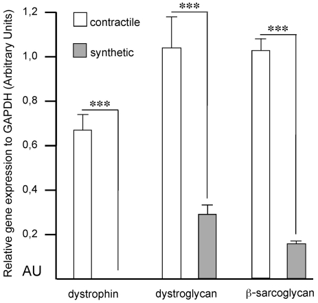 Reduction of dystrophin, dystroglycan and β-sarcoglycan mRNAs in synthetic smooth muscle cells. Relative amounts of dystrophin, dystroglycan and β-sarcoglycan mRNAs in contractile and synthetic smooth muscle cells (n = 6 and 8, respectively). The GAPDH gene expression served as a reference. ***, p