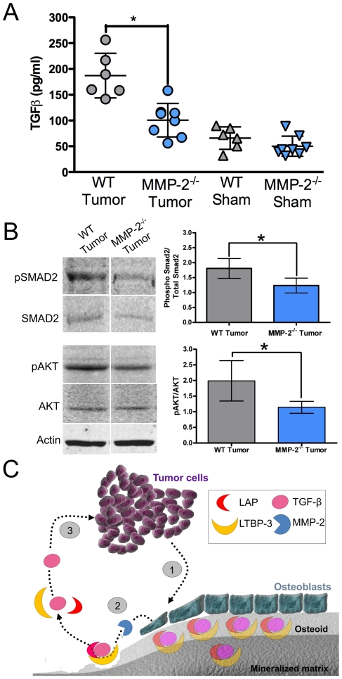 Osteoblast-derived MMP-2 impacts TGFβ activation and tumor survival in the in vivo tumor-bone microenvironment. A , The levels of TGFβ in normalized tumor-bone lysates derived from WT and MMP-2 −/− tumor or sham injected tibias was assessed by ELISA. B , Representative immunoblots for phospho-SMAD (pSMAD2), total smad2 (SMAD2), phospho-AKT (pAKT), total AKT (AKT) and actin (loading control) in the tumor-bone lysates derived from WT and MMP-2 −/− mice. Densitometry on immunoblots generated from tumor bone lysates of at least 5 animals per group was used to generate graphs of the ratio of pSMAD2/SMAD2 and pAKT/AKT. Data are mean ± SD. *, p