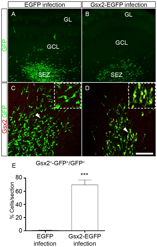 Injection of retroviral particles to express Gsx2 in dividing OB progenitor cells in vivo . Retroviral particles expressing EGFP or Gsx2-EGFP were injected into the OB subependymal zone (SEZ) of P4 mice to infect dividing progenitor cells. The mice were analyzed at P7, when GFP-labeled cells were mainly found in the SEZ. Low magnification images of OB coronal sections show the distribution of infected cells after immunostaining for GFP (A, B). Immunostaining for Gsx2 and GFP show that 69.85% of GFP + cells expressed Gsx2 in animals injected with Gsx2-EGFP particles (D, E) compared to only 0.61% in animals injected with EGFP particles (C, E). The insets in C, D are high magnification images of the cells indicated by the arrowheads in the main images. The graph in E represents the mean percentage ± s.e.m. (n = 3 animals per condition) of the infected cells expressing both Gsx2 and GFP. ***P