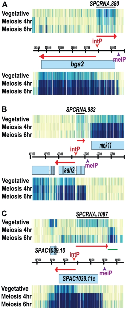 Internal bi-directional transcription. 7 kb window views are shown for three meiotic genes: (A) bgs2 + , (B) aah2 + and (C) SPAC1039.11c . For each gene, transcription initiates from an internal promoter that generates a 5′ truncated sense RNA and a divergent non-coding antisense RNA in vegetative cells. The motif (ACGCTC) that might drive the bi-directional transcription is labeled as intP, int ernal p romoter. During meiosis the mei otic p romoters, marked as meiP for mei otic p romoter, are activated and full-length sense RNAs are made. (B) The meiotic promoter of aah2 + seems to induce bi-directional transcription that generates sense transcription of two meiotic genes, aah2 + and mok11 + . (C) Similarly, the meiotic promoter of SPAC1039.11c seems to induce bidirectional transcription and generates a new non-coding RNA (underlined by a green line) during meiosis.