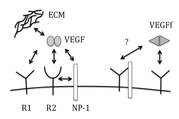 Model illustrating VEGF and VEGFf binding interactions . The following abbreviations are used: R1 for VEGFR1, R2 for VEGFR2, NP-1 for neuropilin-1. Question mark indicates that it is unknown if the binding reaction occurs.