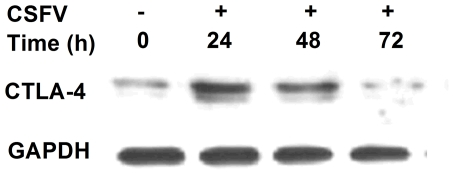 Western blot of CTLA-4 expression in porcine PBMC stimulated with CSFV. Proteins from cell lysate were separated by SDS-PAGE gel and transferred to a nitrocellulose membrane. The membrane was probed with human CTLA-4 affinity purified polyclonal antibody and rabbit anti-goat <t>IgG</t> <t>HRP</t> affinity purified antibody. The GAPDH in each sample was amplified as an internal control as shown in the lower panel. Data are representative of three independent experiments.