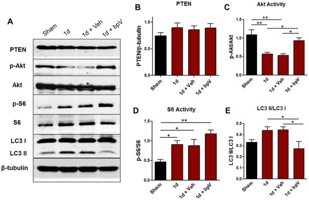 Effects of bpV(pic) on mTOR and autophagy-related protein analysis 1d post-SCI. A) Western blot profiles from tissue collected from experimental animals 1d post-SCI. B–E) Quantification of blots shown in A. B) Total PTEN protein expression does not significantly change following injury, though a mild increase in expression is observed. C) p-Akt levels significantly decrease following injury, and are significantly increased following bpV (pic) treatment. D) Downstream, p-S6 protein levels significantly increase following injury, and are enhanced further following bpV treatment. E) LC3 II ratio to LC3 I, an indicator of autophagic activity, is increased following injury, and is significantly reduced following bpV(pic) therapy. **, p