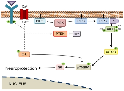 Potential mechanistic explanation for bpV(pic)-mediated neuroprotective effects. PTEN's phosphatase activity converts phosphatidylinositol (3,4,5)-trisphosphate (PIP 3 ) into phosphatidylinositol (4,5)-bisphosphate (PIP 2 ), thus inhibiting downstream Akt and mTOR signaling. PI3K converts PIP 2 into PIP 3 , which can then activate Akt and mTOR, thus enhancing p-S6 expression and contributing to the decrease in cellular autophagic activity that may be involved in programmed cell death, and leading to neuroprotection.
