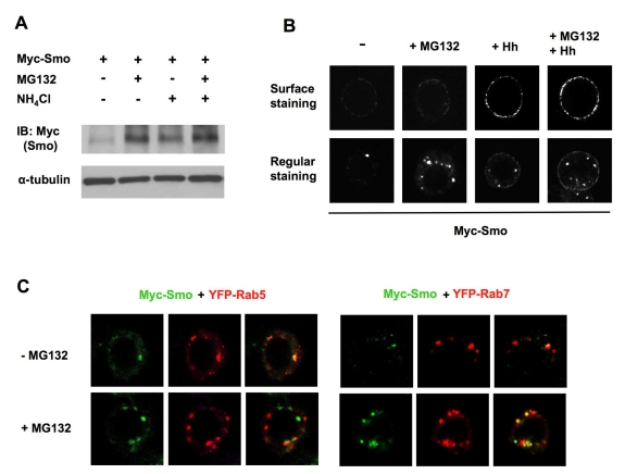 Smo is stabilized by both lysosome and proteasome inhibitors. (A) S2 cells stably expressing Myc-Smo were treated with MG132 and/or NH 4 Cl alone or in combination, followed by Western blot analysis with an anti-Myc antibody. (B) S2 cells stably expressing Myc-Smo treated with or without MG132 and/or Hh-conditioned medium were immunostained with anti-SmoN antibody before membrane permeabilization to visualize cell surface Smo (top panels) or after membrane permeabilization to examine the total Smo (bottom panels). MG132 treatment stabilized Smo in intracellular vesicles whereas Hh treatment led to cell surface accumulation of Smo. (C) Myc-Smo expressing S2 cells were transfected with YFP tagged Rab5 or Rab7, treated with or without MG132 and immunostained to show the expression of Myc-Smo (green) and Rab5/Rab7 (red).