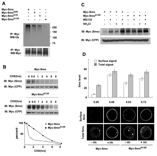 Smo is internalized and degraded by multi-site ubiquitination. (A) Cell extracts from S2 cells transfected with Myc-Smo, Myc-Smo K6R , Myc-Smo K7R , or Myc-Smo K13R were immunoprecipitated with anti-Myc antibody, followed by Western blot analysis with anti-Ub (top) or anti-Myc antibody (bottom). (B) S2 cells were transfected with Myc-Smo or Myc-Smo K13R together with Myc-CFP (as internal control) and treated with cycloheximide (CHX) for the indicated time. Cell extracts were subjected to Western blot analysis with anti-Myc antibody. Quantification of the Western blot analysis is shown at bottom. (C) S2 cells were transfected with Myc-Smo or Myc-Smo K13R together with Myc-CFP and treated without or with MG132 and/or NH 4 Cl. Cell extracts were subjected to Western blot analysis with anti-Myc antibody. (D) S2 cells transfected with Myc-Smo or Myc-Smo K13R and treated with or without Hh-conditioned medium were immunostained with anti-SmoN antibody prior to (top panels) or after (bottom panels) membrane permeabilization. Quantification of cell surface and total Smo levels was shown (20 cells for each condition). The numbers indicate the ratio of cell surface Smo signal versus total Smo signal.