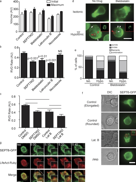 Interplay between septins and the actomyosin cytoskeleton in cell shrinkage. (a) Treatment with inhibitors of MyoII (blebbistatin), actin polymerization (latrunculin B), or microtubule polymerization <t>(nocodazole)</t> does not influence initial or maximum cell size in the flow cytometry osmotic swelling assay. AU, arbitrary unit. (b) Cortical retraction in this assay is slowed by blebbistatin or latrunculin but unaffected by nocodazole. (a and b) n = 7. (c) There is no additive or synergistic effect on cortical retraction of latrunculin B (Lat B) treatment of SEPT7KD cells. Lines indicate the groups between which statistical posttests were performed after analysis of variance. n = 5. (a–c) Error bars represent SD. (d and e) Illustration and quantification of anti-SEPT7 staining of wild-type cells showing that formation of septin filaments (white arrowheads) and rings (red arrowheads) is normal in cells treated with blebbistatin (pooled data from two independent experiments). Insets in d show septin rings in the boxed areas. Hypo, hypotonic; Iso, isotonic. (f) Imaging of SEPT6-GFP–expressing cells demonstrates septin aggregation into rings with latrunculin B treatment under isotonic conditions, whereas no such aggregation was observed with jasplakinolide (Jasp.) treatment. The inset shows latrunculin B–induced septin rings in greater detail. (g) Confocal imaging of cells expressing SEPT6-GFP and LifeAct-Ruby showing actin ruffles with subsequent recruitment of SEPT6-GFP to their bases. Bars, 10 µm.