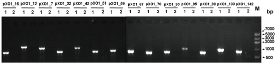 PCR analysis of pXO1 in B. anthracis vaccine strain A16R. PCR analysis of the vaccine strain A16R (1) and the putative pXO1-cured strain A16R (2) with 14 primer pairs specific for plasmid pXO1. M, DNA marker IV (Real-Times Biotechnology).