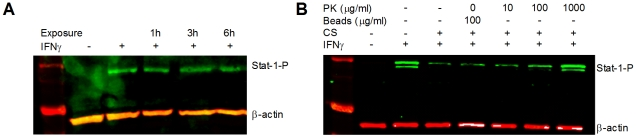 Secreted factor(s) have protein qualities. Whole cell protein extracts from HEp-2 cells analyzed by immunoblotting showed that ( A ) Incubation with heat treated (100°C, 0.5h) EHEC CS did not suppress IFNγ mediated Stat-1 tyrosine phosphorylation, and ( B ) incubation with EHEC CS (6h) pre-treated with <t>proteinase</t> K conjugated to agarose beads (0 – 1,000mg/ml, 37°C, 1h) did not suppress IFNγ induced tyrosine phosphorylation of Stat-1 (n = 3, one-way ANOVA, * p
