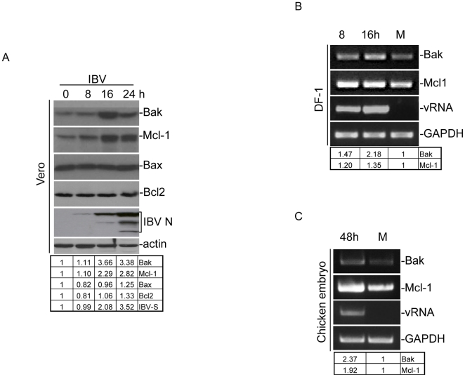 Analysis of the expression of BCL2-related proteins in IBV-infected Vero cells, chicken fibroblast DF1 cells and chicken embryos. (A) Vero cells were infected with IBV, harvested at 0, 8, 16 and 24 hours post-infection, and lysates prepared. Western blot analysis was performed with the indicated specific antibodies, and probed with anti-actin as a loading control. (B) Chicken fibroblast DF1 cells were either infected with IBV, harvested at 8 and 16 hours post-infection and RNA extracted. RT-PCR analysis was carried out using specific primers for the indicated genes, with GAPDH as a loading control. (C) 10-day-old chicken embryos were inoculated with either mock virus (M) or IBV (1000 plaque-forming units per egg) in a 37°C incubator for 48 hours. Total RNA was extracted from homogenized tissues and used for RT-PCR using specific primers as above (B).