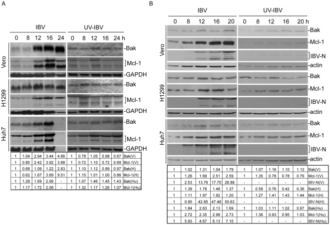 Analysis of Bak and Mcl-1 expression at the mRNA and protein levels in IBV-infected mammalian cells. (A) Northern blot analysis of Bak and Mcl-1 expression at the mRNA level in IBV-infected mammalian cells. Vero, H1299 and Huh7 cells infected with (A) IBV or (B) UV-IBV were harvested at 0, 8, 12, 16 and 24 hours post-infection, respectively, and total RNA was extracted. Northern blot analysis was carried out with specific probes for Bak and Mcl-1. The same membrane was also probed with a GAPDH probe as a loading control. (B). Western blot analysis of Bak and Mcl-1 expression at the protein level in mammalian cells. Vero, H1299 and Huh7 cells infected with IBV were harvested at 0, 8, 12, 16, 24 and 36 hours post-infection, respectively, and cell lysates prepared. Western blot analysis was performed using specific antibodies as indicated, with anti-actin as a loading control. M, mock infection.