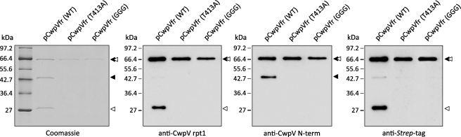 CwpV undergoes enzyme-independent intramolecular autoprocessing. Plasmids encoding a Strep -tagged fragment of CwpV (pCwpVfr (WT), pCwpVfr(T413A), and pCwpVfr(GGG)) were used as templates in PURExpress in vitro protein synthesis reactions. Proteins of interest were purified on Strep Tactin resin separated on 12% SDS-polyacrylamide gels and analyzed via Coomassie Blue staining and Western blotting. In the pCwpVfr (WT) sample, two products corresponding to the N-terminal domain and a fragment of the repeat domain could be seen aside from the full-length CwpV fragment. In both pCwpVfr(T413A) and pCwpVfr(GGG)samples, no cleavage was observed as only the full-length CwpV fragment could be seen. ◂, repeat domain; ◁, anchoring domain.