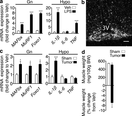 CNS inflammation and muscle catabolism occur simultaneously. (a) Atrophy gene expression in mouse Gn and cytokine expression in mouse hypothalamic blocks (Hypo) 8 h after i.p. LPS (250 µg/kg) or Veh was measured by real-time PCR ( n = 5–7/group for Gn and 5/group for Hypo). Values are relative to GAPDH for Gn and 18s RNA for Hypo. (b) In situ hybridization for IL-1β mRNA in the arcuate nucleus of the hypothalamus (−2.80 relative to bregma; 3V, third ventricle) 8 h after LPS administration. Veh-treated animals showed no specific signal at this exposure time. (c) Atrophy gene expression in Gn and cytokine expression in hypothalamic blocks in mice bearing LLC tumors (or sham) were measured by real-time PCR ( n = 5–9/group). Values are relative to GAPDH for Gn and 18s RNA for Hypo. (d) Gn muscle weight normalized to initial body weight (BW) and muscle weight change relative to Veh in LLC tumor bearing animals ( n = 5–9/group). Bar, 100 µm. Data are represented as mean ± SEM. *, P