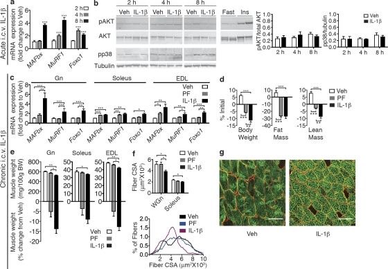 <t>IL-1β</t> signaling in the CNS produces muscle catabolism. (a) Atrophy gene expression in mouse Gn muscle (Gn) after acute i.c.v. IL-1β injection (10 ng, n = 6–9/group) or Veh. (b) Akt and p38 phosphorylation in Gn after acute i.c.v. IL-1β was measured by Western blotting ( n = 6–9/group). (c–g) Rats were i.c.v. infused for 3 d with IL-1β (10 ng/h) or Veh ( n = 8–11/group). A subset of Veh-treated animals were PF to IL-1β–treated animals. (c) Atrophy gene expression in rat muscle (Gn, Soleus, and EDL) after 3-d i.c.v. IL-1β or Veh infusion was measured by real-time PCR. Reported values are relative to GAPDH. (d) Body composition after 3-d IL-1β infusion. (e) Muscle weight normalized to initial body weight (BW) and weight change relative to Veh. (f) Mean fiber CSA in WGn and soleus and frequency distribution in Gn. (g) WGn immunostained for laminin (red), delineating fiber area, and Myosin IIb (green). Bars, 100 µm. Data are represented as mean ± SEM. *, P