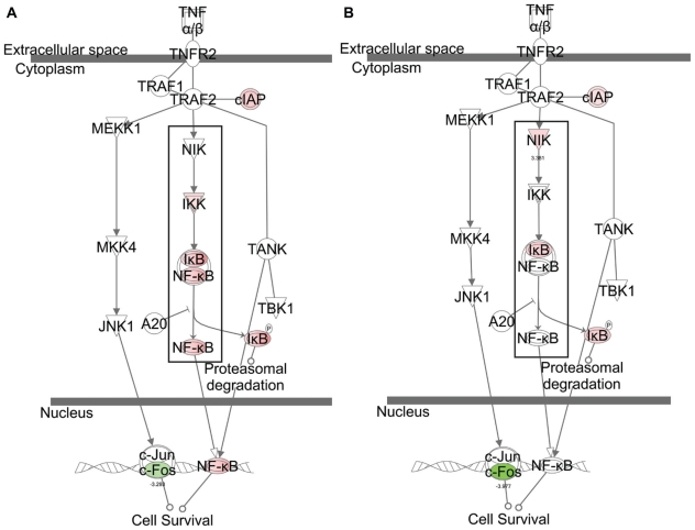 Graphical representations of TNFR2 signaling pathways and comparison of the gene- perturbation induced by the treatments ( A ) TNF-α challenge without <t>α-tocopherol</t> pre-treatment; and ( B ) TNF-α challenge with α-tocopherol pre-treatment, respectively. Notes: Red-notes and green-notes indicate up- and down-regulated genes, respectively. For simplication, α-tocopherol treatment is not shown.