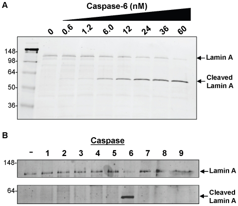 Western blot detection of recombinant GST-lamin A processing by purified caspases. (A) The indicated concentration of <t>caspase-6</t> was incubated with GST-lamin A for two hours. (B) 300 Units of caspases 1–9 were incubated with GST-lamin A for two hours. Intact and cleaved lamin A were detected via western blotting using anti-GST antibody.