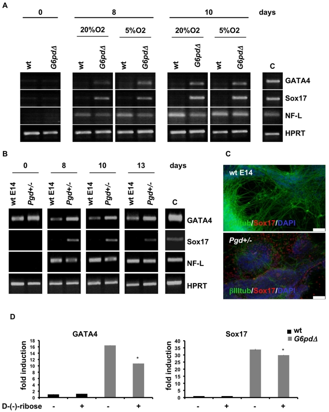 Mechanism inducing endodermal cell differentiation. (A) RT-PCR of different lineage-specific marker genes in wt and G6pdΔ ES cells in presence of a lower oxygen concentration (5%) and in normal culture conditions (20%). (B) RT-PCR of different lineage-specific markers in differentiated wt E14 and Pgd +/− ES cells at 8, 10 and 13 days of neural differentiation. (C) Double immunostaining Sox17/βIII-tubulin/DAPI of cells at 10 days of differentiation showed areas of immunoreactive cells for Sox17 only in Pgd +/− ES cells. Scale bars, 75 µm. (D) qRT-PCR for Sox17 and GATA4 in wt and G6pdΔ ES cells at day 10 after treatment with D-(-)-ribose during neural differentiation. Values are means ± SD (n = 3). * P