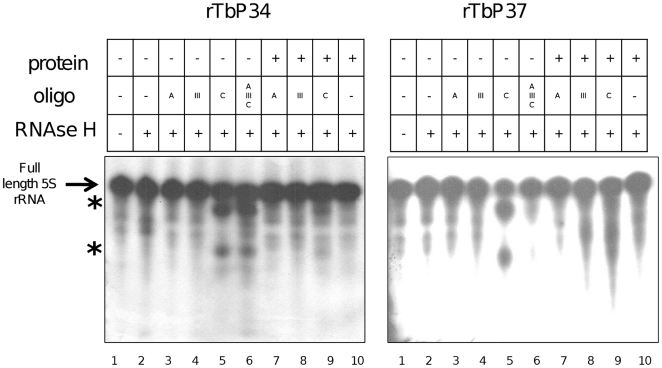 P34 and P37 protect the Loop C of 5S rRNA. RNase H protection assays were performed with full-length 5S rRNA in the absence (lanes 3–6) or presence (lanes 7–9) of protein. The arrow indicates full-length RNA and the asterisks indicate cleavage products.