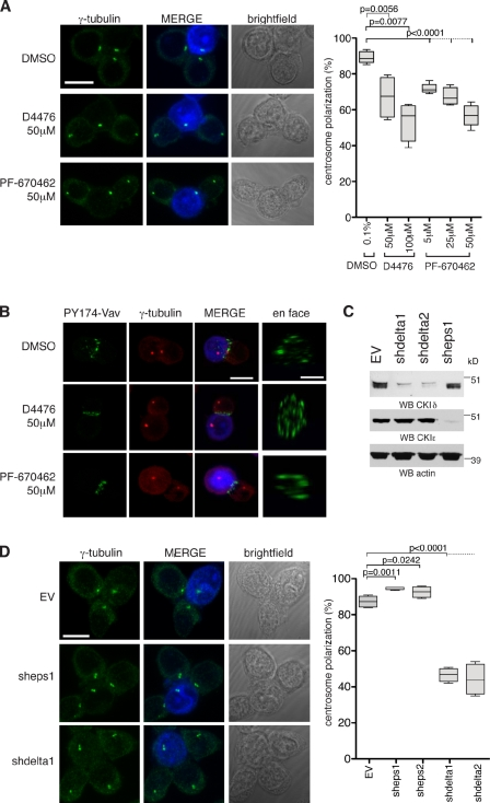 CKIδ regulates TCR-mediated centrosome polarization to the IS. (A) Conjugates of Jurkat and SEE-pulsed Raji cells in the presence of the indicated drugs. Centrosomes are stained with anti–γ-tubulin antibody. Raji cells are blue in merge. The box plot shows quantification of centrosome polarization to the IS based on scoring criteria in Fig. S1 A ( n = 4 experiments; 200 conjugates/experiment). (B) Conjugates of Jurkat and SEE-pulsed Raji cells in the presence of the indicated drugs. Cells are stained with anti–PY174-Vav and anti–γ-tubulin antibodies. Raji cells are blue in merge. (C) Cytoplasmic cell extracts of Jurkat cells containing stably integrated EV (control), vector encoding CSNK1D shRNA (clones shdelta1 and shdelta2), or CSNK1E shRNA (clone sheps1) are immunoblotted with antibodies against CKIδ or CKIε. Actin serves as a loading control. WB, Western blotting. (D) Conjugates of control (EV), CKIε- or CKIδ-depleted Jurkat cell clones, and SEE-pulsed Raji cells. Centrosomes are stained with anti–γ-tubulin antibody. Raji cells are blue in merge. The box plot shows quantification of centrosome polarization to the IS ( n = 4 experiments; 200 conjugates/experiment). In the box plots, whiskers are set at minimum and maximum, and horizontal lines mark the median, whereas boxes indicate the interquartile range (25–75%). Bars:10 µm; (en face) 5 µm.