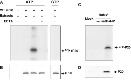 Phosphorylation of P20. ( A ) In vitro phosphorylation. Purified rP20 was co-incubated in protein extracts of BaMV and satBaMV co-infected N. benthamiana leaves in the absence or presence of 100 mM EDTA and [γ- 32 P]ATP or [γ- 32 P]GTP and analyzed by 12.5% SDS–PAGE and autoradiography. Reaction mixture lacking rP20 or leaf protein extract served as controls. ( C ) In vivo phosphorylation. N. benthamiana protoplasts were mock-inoculated, inoculated with BaMV viral RNA alone or co-inoculated with BaMV RNA and satBaMV RNA transcripts by electroporation and cultured with [ 33 P]orthophosphate. After 20 h inoculation, protoplasts were harvested, lysed, total proteins were immunoprecipitated with anti-P20 serum, analyzed by 12.5% SDS–PAGE and detected by autoradiography. ( B and D ), Immunodetection of P20 phosphorylated in vitro and in vivo with anti-P20 serum.