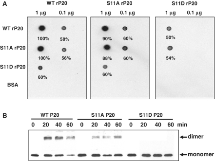 Protein interactions of wild-type and mutant rP20. ( A ) Overlay assay. Purified WT, S11A or S11D rP20 was dot-blotted onto a PVDF membrane. After blocking with 1% BSA (w/v) in 140 mM NaCl, 10 mM Tris–HCl, pH 7.4, 2 mM EDTA, 0.1% Tween 20 (v/v) and 2 mM DTT at room temperature, the membrane was overlayed at 4°C with 35 [S]-Met-labeled WT, S11A or S11D translated in vitro. After washing the membrane in Tris-buffered saline buffer containing 0.05% Tween 20 (v/v), protein interactions were detected by autoradiography. Bovine serum albumin was used as a control. ( B ) Glutaraldehyde cross-linking assay. Total protein extracted from N. benthamiana leaves co-infected with BaMV and WT, S11A or S11D satBaMV was cross-linked with 0.025% glutaraldehyde (v/v) for indicated times at 30°C, resolved on 12.5% SDS–PAGE and immunodetected with anti-P20 serum.