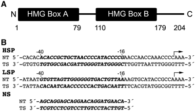 Sequence of TFAM and promoter DNA sequences. ( A ) Schematic diagram of TFAM. Numbers below the diagram delineate the residues that form HMG box A (1–79), the linker region (80–110), HMG box B (111–179) and the C-terminal tail (180–204). ( B ) Sequences of the HSP1 and LSP promoter DNA, as well as a protein-coding region of the mitochondrial genome (NS DNA). The 25 bp regions of the promoters that were used here and where TFAM binds (−40 through −16 upstream of the start site) are depicted in bold italics. The NT and TS indicate the non-template, and template strand, respectively. The arrows indicate the POLRMT start site and direction of transcription. For FRET experiments, LSP, HSP1 or NS DNA was 3′-labeled with TAMRA as the acceptor for the template strand, and 3′-labeled with FAM as the donor for the non-template strand.