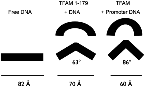 DNA bending models. The estimated impact of TFAM-induced DNA bending visualized for the end-to-end distances for TFAM and TFAM 1-179 binding to LSP, HSP1 and NS DNA. Limiting FRET effect values were used for the estimation of bend angles. The calculated end-to-end distance for the LSP 25 bp DNA fragment is 82 Å. Assuming that TFAM induces a DNA kink, the bend angles corresponding to the end-to-end distances of 70 and 60 Å are shown. TFAM induces a greater bend in the DNA than TFAM 1-179. HMG-box proteins more typically create smooth bends in the DNA, and as illustrated, the apparent overall bend can be greater than the bend angles calculated from the kink-only model.