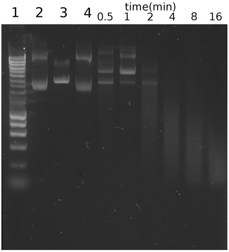 Observation of the pUC19 plasmid DNA states during cleavage by Spd1. Aliquots were taken from the reaction mixture at the indicated time points, and digested products were analysed by electrophoresis in 1% agarose gel, staining with SYBR® Safe (Invitrogen). Control lanes 1: Hyperladder I (Bioline); Lane 2: Untreated pUC19; Lane 3: EcoRI linearized pUC19; Lane 4: Reaction mixture prior to the addition of Spd1. The digestion of plasmid DNA proceeds via single-strand nick mediated relaxation of supercoiled DNA, this can be seen 30 s to 1 min into the reaction; within the same time frame a linear form can also be seen emerging.
