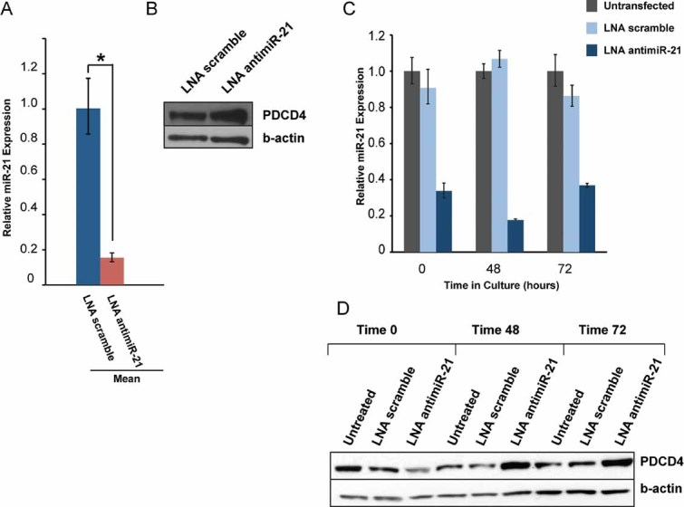Silencing of miR-21 by tiny LNA-anti-miR in vivo and in vitro derepresses PDCD4 in B6.Sle123 T cells Three groups of two B6.Sle123 mice were treated in vivo with seed-targeting LNA antimiR-21 or LNA scramble control compound daily for 3 days. miR-21 qRT-PCR quantification using total RNA from CD4 + T cells FACS purified from LNA antimiR-21- and LNA scramble compound-treated mice. Mean RQs of three independent experiments. * p = 8.1 × 10 −6 . Western blot analysis of PDCD4 expression in CD4 + T cells derived from in vivo LNA antimiR-21 treated mice and controls. Results are representative of three independent experiments. Unassisted uptake of LNA antimiR-21 by primary B6.Sle123 CD4 + T cells maintained in culture. Cells were purified, cultured in the presence of tiny seed-targeting LNA antimiR-21 or control compound as described in Materials and Methods section. At selected time points, cells were harvested and miR-21 expression was assessed by real-time PCR. PDCD4 expression in CD4 + T cells treated in vitro with seed-targeting LNA antimiR-21 or control compound.