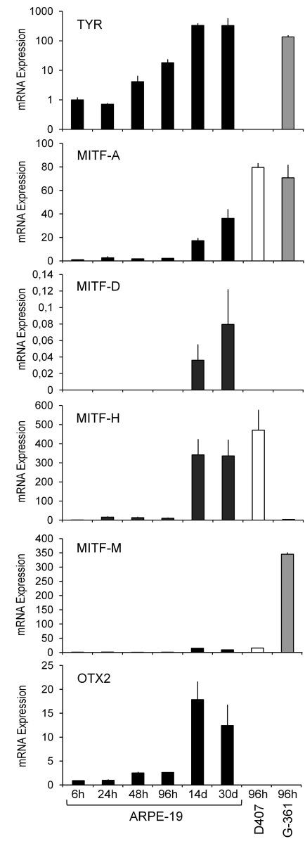 Expression of TYR , MITF-A , MITF-D , MITF-H , MITF-M , and OTX2 mRNA in RPE cells. ARPE-19 mRNA was collected at various time points (6 h, 24 h, 48 h, 96 h, 14 days, and 30 days). Other samples were isolated at 96 h from D407 RPE cells and G-361 melanoma cells, a positive control for TYR expression. Results are presented as the mean normalized expression±SD relative to 6 h ARPE-19 culture (=1) from three to four independent cultures each performed in triplicate. Due to very low expression levels, MITF-D values were normalized relative to MITF-H (6 h ARPE-19 culture=1).