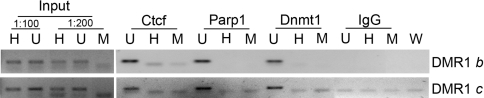 Ctcf, Parp1, and Dnmt1 bind to non-methylated DNA molecules within the DMR1 Ctcf, Parp1, and Dnmt1 ChIPs were performed for the DMR1 b and c fragments. End-point PCR was performed after digestion of ChIP fractions DNA and inputs with either HpaII (H, methylation sensitive) or MspI (M, methylation insensitive) following heat inactivation of the restriction enzymes. The input (4% of the chromatin subjected to immunoprecipitation) was diluted 1/100 or 1/200 before restriction. The uncut (U) fractions consisted in HpaII digestions preventively blocked by heat inactivation. W, PCR performed in the absence of added template.
