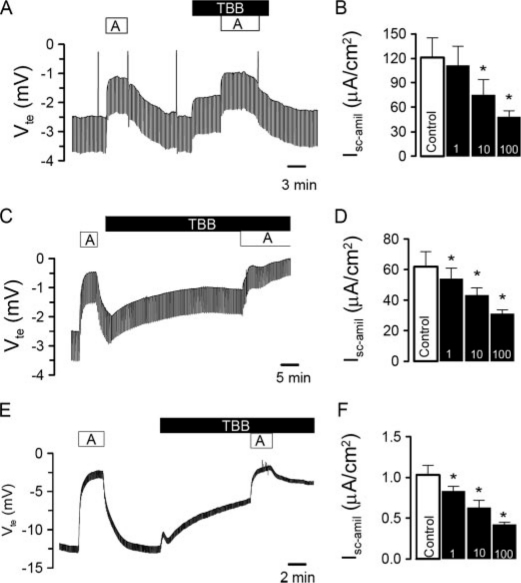 CK2 activates ENaC in native epithelia and in epithelial cells. Original Ussing chamber recordings of the transepithelial voltages V te detected in mouse trachea ( A ), mouse colon ( C ), and M1 cells ( E ). Effects of amiloride ( A , 10 μ m ) and the CK2 inhibitor TBB (10 μ m ). Concentration-dependence of the effects of TBB on amiloride-sensitive transport in trachea ( B ), colon ( D ), and M1 cells ( F ). The asterisk ( * ) indicates significant effects of TBB (paired t -tests, number of experiments: 9-13 for each series).
