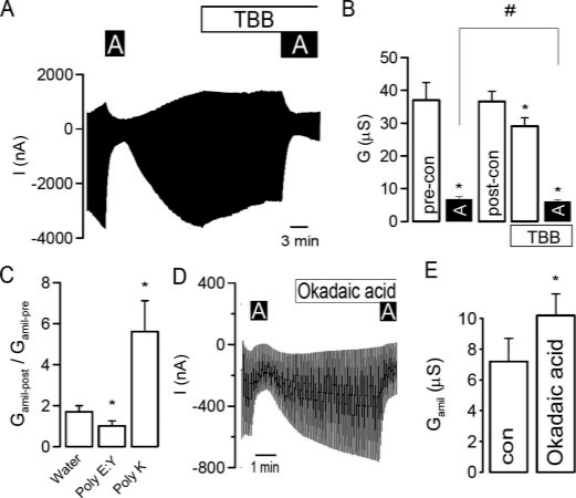CK2 activates ENaC in Xenopus oocytes. A , current recording from a Xenopus oocyte expressing αβγ-ENaC and effects of amiloride (10 μ m ) and TBB (10 μ m ). Oocytes were voltage-clamped from -90 mV to +10 mV in steps of 10 mV, and the resulting currents were recorded. B , summary of the effects of amiloride and TBB on whole cell conductance in ENaC-expressing oocytes. C , summary of the change of amiloride-sensitive conductance ( G amil ) after injection of water, the CK2 inhibitor poly(E:Y) (50 μ m ) and CK2 activator poly(K) (50 μ m ), respectively. D , current recording of an ENaC-expressing oocyte and the effects of amiloride ( A , 10 μ m ) and okadaic acid (100 n m ). E , summary of the effect of okadaic acid on the amiloride-sensitive whole cell conductance measured in oocytes. The asterisk ( * ) indicates significant effects (paired t -test). The number sign (#) indicates a significant difference for the effects of amiloride before and after incubation with TBB (paired t -test, 6-25 experiments for each series).