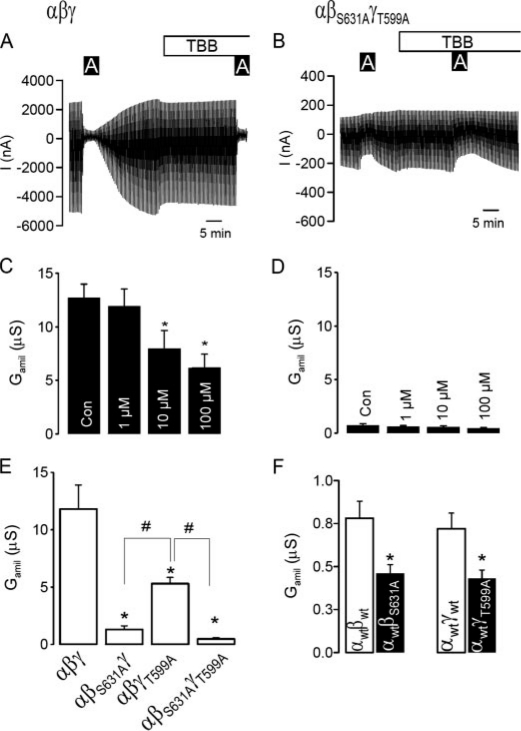 Elimination of CK2 phosphorylation sites on ENaC inhibits channel activity. A , current recording from a Xenopus oocyte expressing αβγ-ENaC and effects of amiloride (10μ m ) and TBB (10μ m ). Oocytes were voltage-clamped from -90 mV to +10 mV in steps of 10 mV, and the resulting currents were recorded. B , current recording from a Xenopus oocyte expressing αβ S631A γ T559A -ENaC and effects of amiloride (10 μ m ) and TBB (10 μ m ). C and D , summaries of the effects of amiloride and TBB on G amil generated by αβγ-ENaC and αβ S631A γ T559A -ENaC. E , comparison of G amil produced by wt-(αβγ)-, single mutants (αβ S631A γ, αβγ T559A )-, and a doublemutant (αβ S631A γ T559A )-ENaC. F , summaries of G amil produced by dimeric wt-(αβ, αγ)- and mutant (αβ S631A , αγ T559 )-ENaC channels. The asterisk ( * ) and number sign (#) indicate a significant difference (paired t -test, 13-25 experiments for each series).