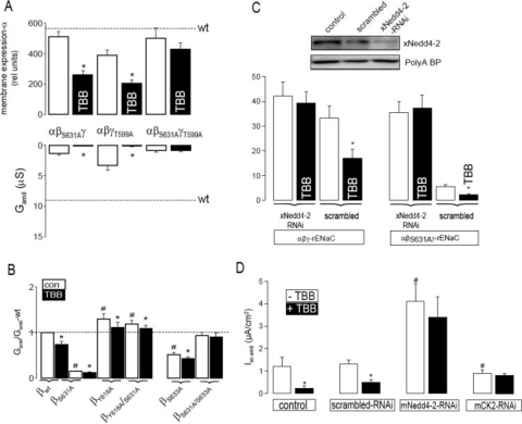 """CK2 is essential for ENaC activity and antagonizes the inhibitory effect of Nedd4-2 on ENaC. A , summary of α-ENaC membrane expression and G amil after 40 h. TBB inhibited membrane expression of α-ENaC via single mutants (αβ S631A γ,αβγ T559A ) but not that of the double mutant (αβ S631A γ T559A ). G amil was largely reduced for all mutants, and G amil produced by the double mutant was no longer inhibited by TBB. Dashed lines indicate membrane expression and G amil of wt-ENaC. B , whole cell conductances relative to wt-ENaC. A mutation in the PY motif (Y618A) of β-ENaC increased Na + conductance, and S631A no longer inhibited ENaC conductance. The Grk2 mutant S633A inhibited ENaC, but not as a double mutant S631A/S633A. C , inhibition of xNedd4-2 expression by siRNA-xNedd4-2 but not scrambled siRNA. The abundant poly(A)-binding protein indicates equal loading. Summary of ENaC whole cell conductances measured in the absence or presence of siRNA-xNedd4-2 or scrambled siRNA (see """"Materials and Methods""""). D , summary of the amiloride-sensitive short-circuit current and effects of TBB (10 μ m ) in control M1 cells and M1 cell treated with scrambled RNAi, mNedd4-2-RNAi, and mCK2-RNAi (see """"Materials and Methods""""). The asterisk ( * ) indicates significant effects of TBB (paired t -tests). The number sign (#) indicates a significant difference compared with control (unpaired t -test, 6-24 experiments for each series)."""