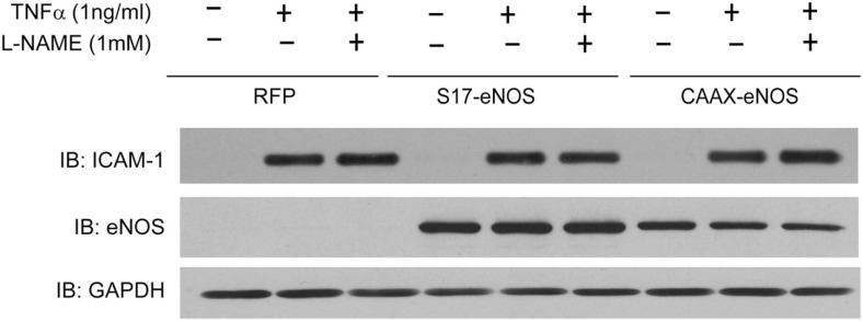 """""""Endothelial nitric oxide synthase knockdown"""" HAECs were transduced with adenovirus (MOI of 20) encoding either RFP (control), S17-eNOS (Golgi targeted), or CAAX–eNOS (PM targeted) . Twenty-four hours later, cells were treated with L-NAME (1 mM) for 30 min, and TNFα (1 ng/ml) was added for an additional 24 h. Cell lysates were immunoblotted with <t>anti-ICAM-1,</t> anti-eNOS, and <t>anti-GAPDH</t> antibodies."""