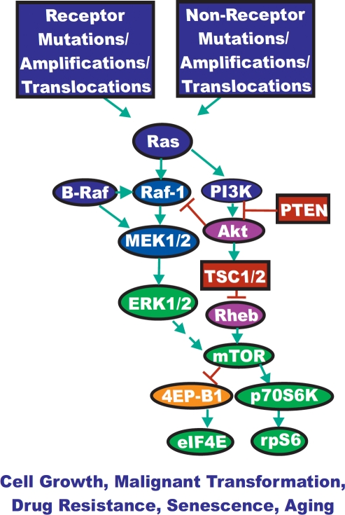 Dysregulated Expression of Upstream Receptors and Kinases Can Result in Activation of the Ras/Raf/MEK/ERK and Ras/PI3K/PTEN/Akt/mTOR Pathway Sometimes dysregulated expression of growth factor receptors occurs by increased expression, genetic translocations or genomic amplifications which can lead to activation of the Ras/Raf/MEK/ERK and Ras/PI3K/PTEN/Akt/mTOR pathways. Alternatively chromosomal translocations can occur in non-receptor kinases and other genes which result in activation of these pathways. Genes in the Ras/Raf/MEK/ERK and Ras/PI3K/PTEN/Akt/mTOR pathways that have activating mutations detected in human cancer and proliferative diseases are indicated in blue ovals. Genes overexpressed in certain cancers are indicated in purple ovals. Tumor suppressor genes mutated in human cancer are indicated in red rectangles. Other key genes are indicated in green ovals. Genes inactivated by the Ras/PI3K/PTEN/Akt/mTOR pathway are indicated in orange ovals. Green arrows indicate activating events in pathways. Blocked red arrows indicating inactivating events in pathway.