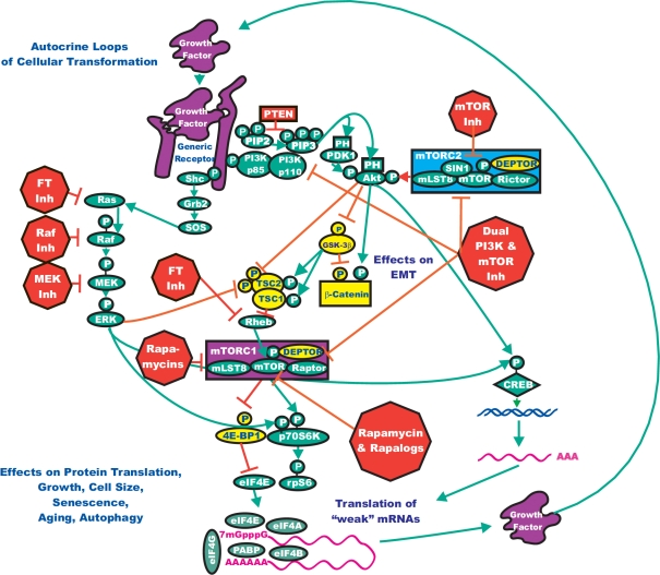 Conceptual Overview of Targeting the Ras/Raf/MEK/ERK and Ras/PI3K/PTEN/Akt/mTOR Pathways to Suppress Malignant Growth The Ras/Raf/MEK/ERK and Ras/PI3K/PTEN/Akt/mTOR pathways can interact at many different levels. In this diagram, we have focused on how they interact to regulate mTOR, p70S6K and protein synthesis and autophagy. Targeting both of these pathways may be an effective means to regulate cell growth. Signaling molecules promoting phosphorylation events are indicated in green. Stimulatory signaling events are indicted in green lines with a green arrow before the target of the phosphorylation. Small molecule inhibitors are indicated in red. Inhibitory phosphorylation events are indicated in red lines with a block on the end before the target of the inhibition. More tentative inhibitory phosphorylation events are indicated in dotted red lines with a block on the end before the target of the inhibition. Inhibitory signaling or proapoptotic molecules or inactivated molecules are indicated in yellow. A growth factor and a growth factor receptor are indicated in purple. Active transcription factors are indicated in purple diamonds. Inactivated transcription factors are indicated in yellow diamonds.