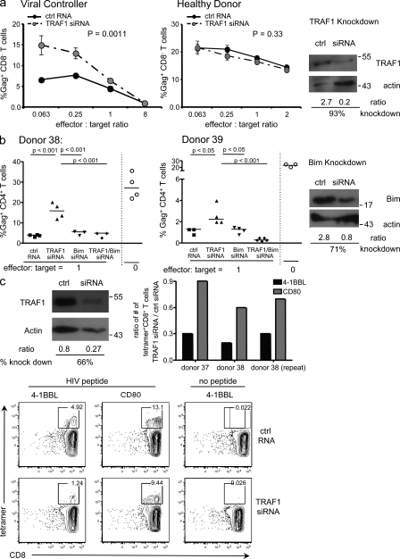 TRAF1 is required for HIV-specific CD8 T cell responses. (a) CD8 and CD4 T cells were separately purified from HIV + or HIV − donors. CD4 T cells were infected with a primary isolate of HIV and at 48 h, co-cultured with their autologous CD8 T cells that had been transfected with either TRAF1-specific siRNA or a control scrambled RNA (ctrl). Irradiated autologous PBMCs were added as a source of APC. The frequency of Gag + T cells was measured 5–7 d later by flow cytometry using CD3-, CD8-, and GAG-specific antibodies to assess the proportion of infected CD4 T cells. As CD4 is down-regulated on the infected cells, the absence of CD8 is used to determine the CD4 T cell population. Representative flow cytometry plots are shown in Fig. S2 . (left and middle) representative suppression curves (based on three to five replicates at each effector-to-target ratio for each donor and representative of three viral controllers and a healthy uninfected control). Statistical significance was determined by linear regression of percentage of Gag + T cells against log (effector: target ratio) using GraphPad (Prism) software. (right) Representative Western blot analysis of TRAF1 levels after knockdown, determined at 48 h after activation. (b). (left and middle) Viral suppression assay performed as in a. Bim-specific siRNA, TRAF1-specific siRNA, or both, or control scrambled RNA were used to transfect CD8 T cells from two viral controllers. CD8 T cells were plated at a ratio of 1:1 with infected CD4 T cells as in a. Open symbols on the right of each panel indicate the percentage of Gag expression in the CD4 T cells if no CD8 T cells were added at all. Cells were harvested for analysis of percentage of Gag + CD4 T cells (CD8 − T cells) after 7 d of co-culture. Statistical analysis was performed using one-way ANOVA. (right) Representative Western blot analysis of Bim levels after knockdown, determined at 48 h after activation. (c) Purified CD8 T cells from viral controllers were nucleofec