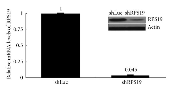 Efficiency of RPS19 silence in colonic cells by RNA interference. RPS19 silence is achieved by the lentivirus-mediated RNAi experiment. Relative mRNA levels of RPS19 are quantified by qRT-PCR with TaqMan probes and normalized by individual level of 18 s rRNA. The relative expression level of shLuc-infected cells is considered as 1. Results are representative of those obtained in two-to-three separate experiments with error bars showing standard error. Changes of protein levels are immunoblotted with antibodies against RPS19 and β -actin (in black square).
